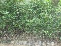 Kagzi Lemon Plant