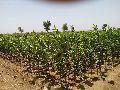 Karonda Green Plant