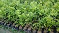 Seedless Thai Lemon Plant