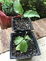 Guava Thai Apple Grafted Plant