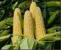 Corn Oil Seed
