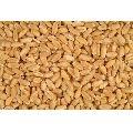 Fresh Wheat Grains