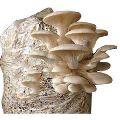 Natural Oyster Mushroom