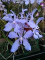 Vanda Coerulea Orchid Flower