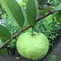 guava amrud lukhnow plant