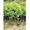 thai guava amrud plant