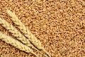 Hard Red Wheat Seeds