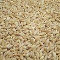 Soft White Wheat Seeds