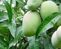 Raw Kesar Mango