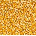Natural Yellow Maize Seeds