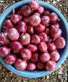 Round Red Onion