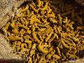 Assam Turmeric