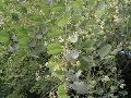 Hardwickia Binata Seeds