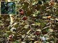 Ziziphus Mauritiana Plant