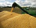 High quality yellow maize