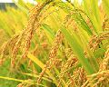 Paddy Seed Coating Polymer