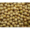 Hybrid Soybean Seeds
