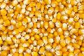 B Grade Yellow Corn Seeds
