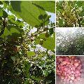 Phalsa Fruit Plant