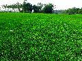 Pitch Grass