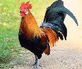 Live Jharsim Chicken