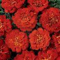 Marigold Red Flower