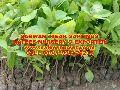 Hybrid Big Leaf Teak Plant
