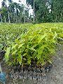 Mahogany Plant