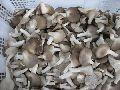 Sajor Caju Oyster Mushroom Spawn