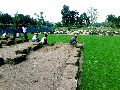 Mexican Grass