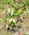 All Time Mango plant