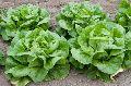 Fresh Butterhead Lettuce