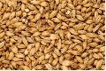 Barley Animal Feed