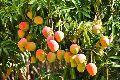 Langra Mango Plant