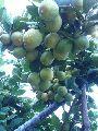 Thai Seedless Lemon Plant