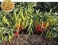1580 Hybrid Chilli Seeds