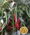 Asthra CB555 Hybrid Chilli Seeds