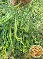 Dhruv Tara Hybrid Chilli Seeds