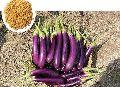 Durga CB12 Hybrid Brinjal Seeds
