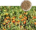 Mani CB22 Hybrid Tomato Seeds