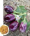 Taruni Hybrid Brinjal Seeds