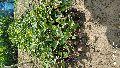 Thai Black jamun plant