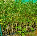Agorwood plants