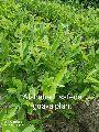Alahabadi Safeda Guava Plant