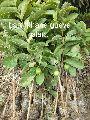 Barafkhana Guava Plant