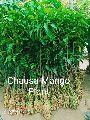 Chausa Mango Plant