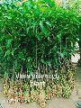 Dasahri Mango Plant