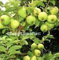 Dhawal Guava Plant