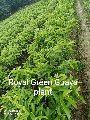Royal Green Guava Plant