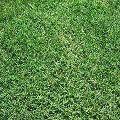 Bermuda Grass Carpet
